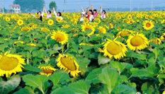 徐州微山湖畔向日葵花海絢爛綻放引萬千遊人
